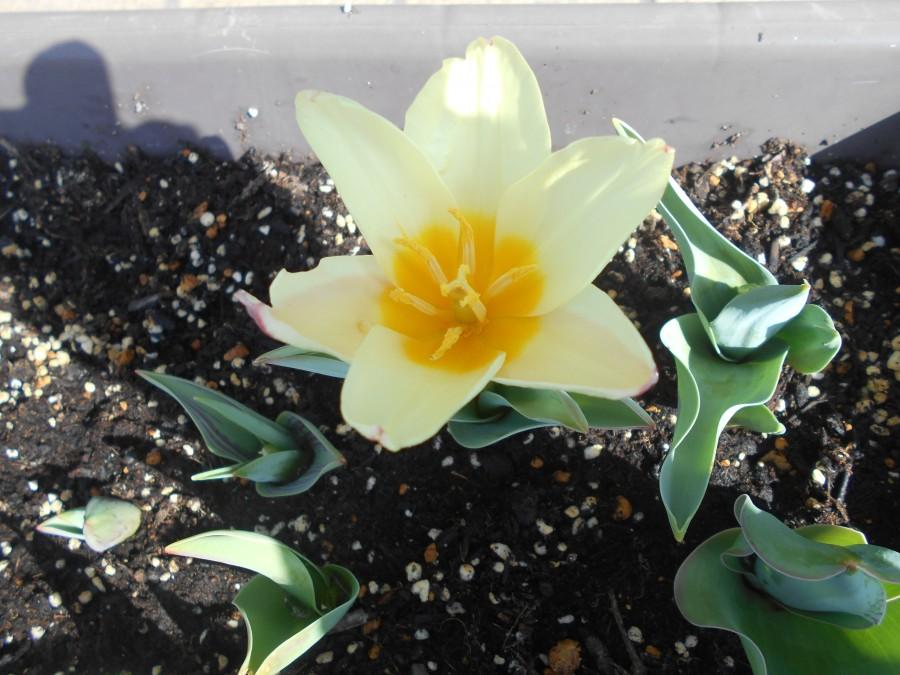 チューリップが咲きました🌷✨